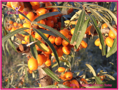 Seabuckthorn-berry-plant
