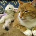 CatAdopts Lamb