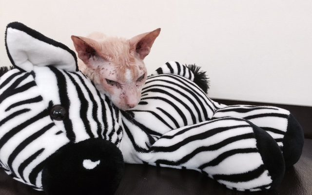 Resting After A Hard Play – Cornish Rex Cats on A Wordless Wednesday