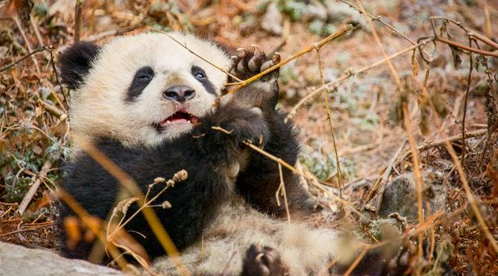 Insights, PANDA Facts & Born In China Activity Packet #HeartThis #BornInChina