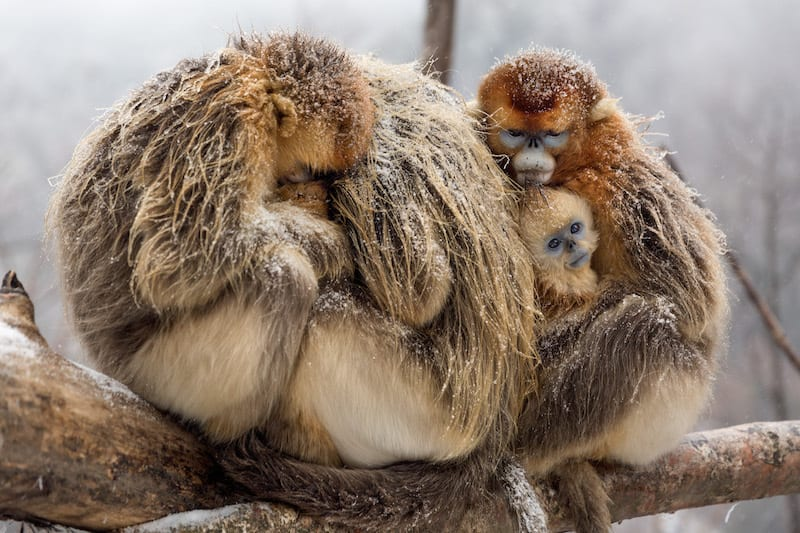 Golden snub-nosed monkeys, Born In China