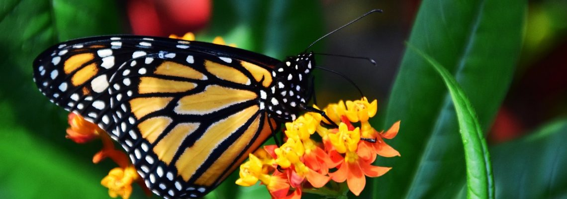 HOW-TO Reverse Monarch Species Decline #HeartThis
