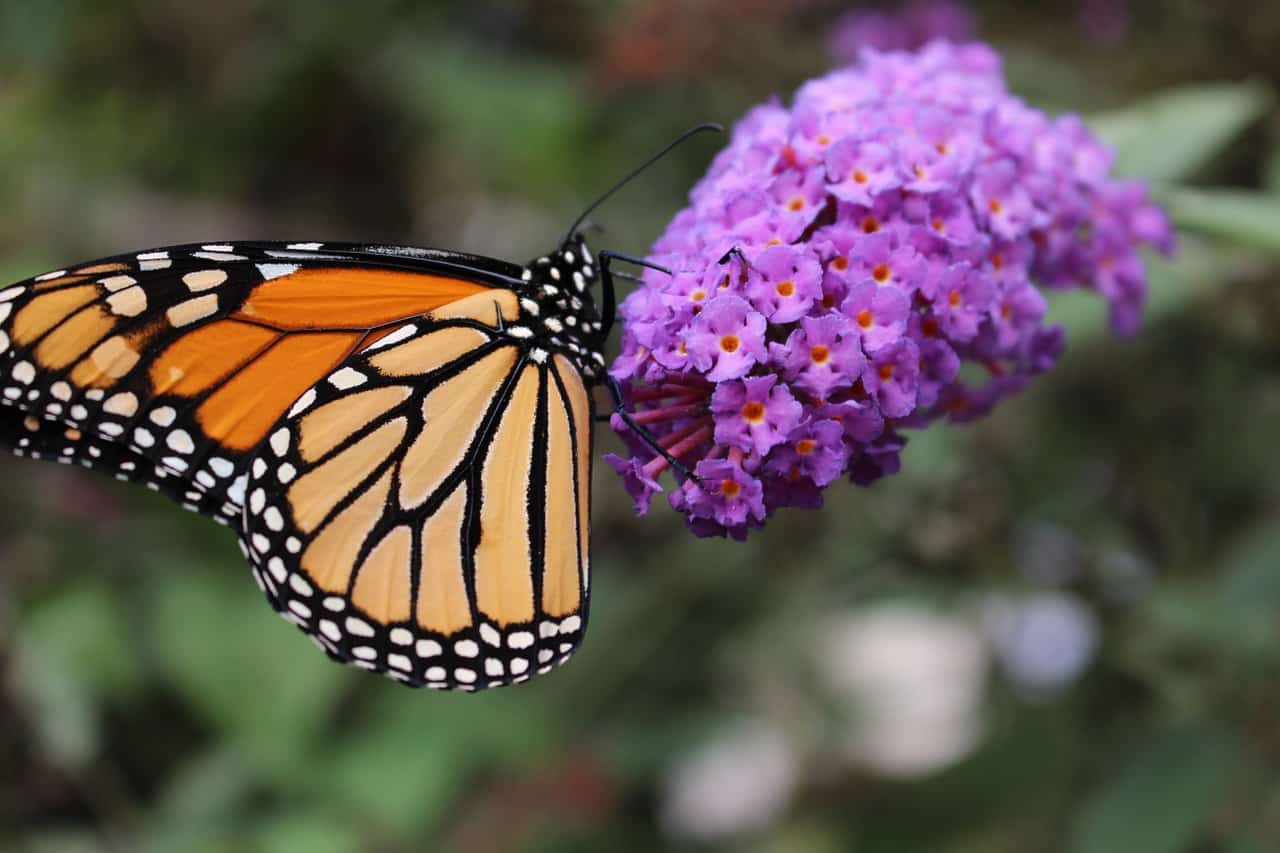 HOW-TO SAVE Monarch Butterfly