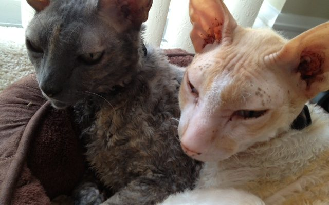 Wordless Wednesday Spent In A Cornish Rex Way, April 3
