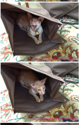 Cornish Rex Cats Playing Hide-And-Seek On A Wordless Wednesday