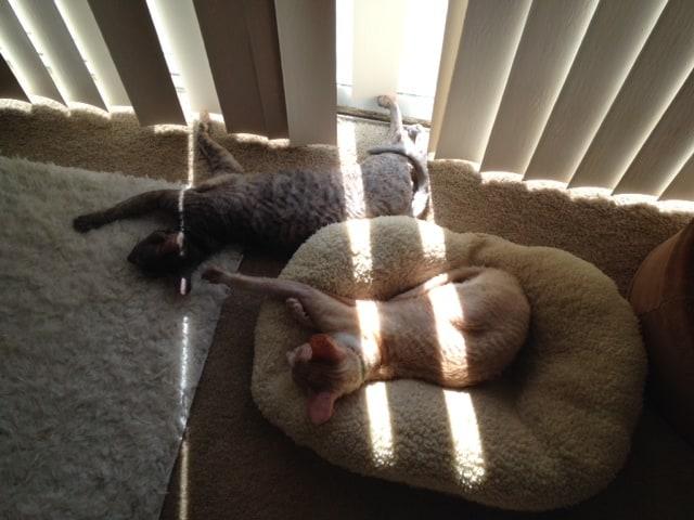 cornish rex cats napping