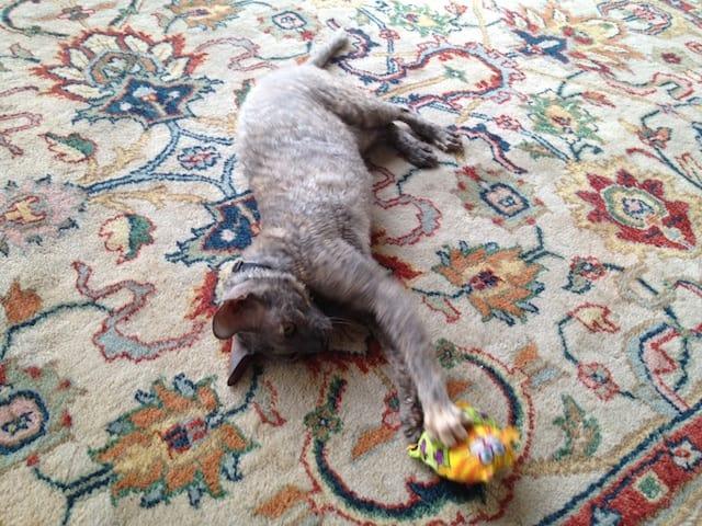 cornish rex cats playing