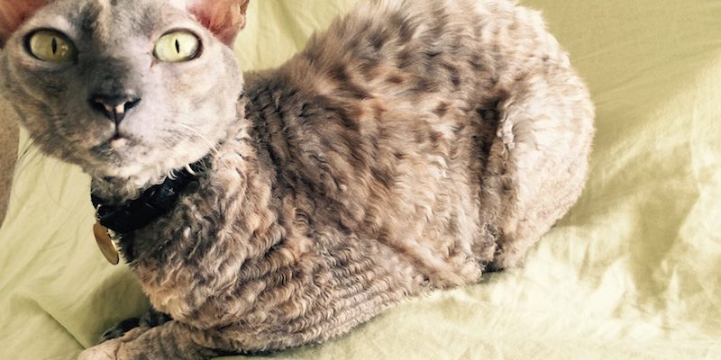 That's How We Roll On A Wordless Wednesday with Cornish Rex Cats