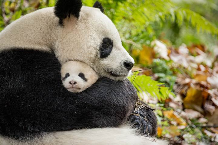 PANDA FAMILY, BORN IN CHINA