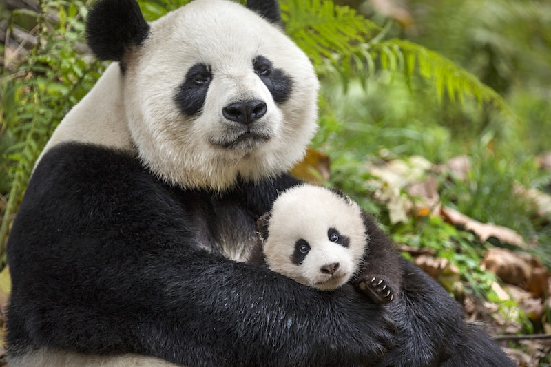 Giant Panda, Born in China