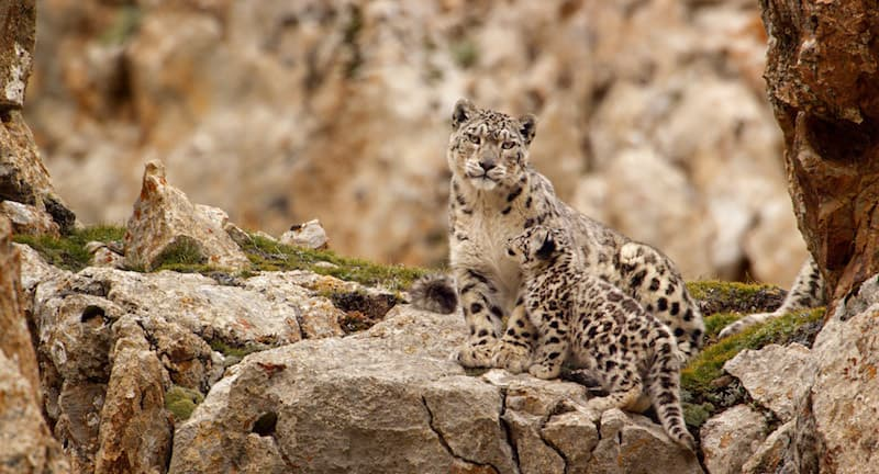 Snow Leopard, Born In China