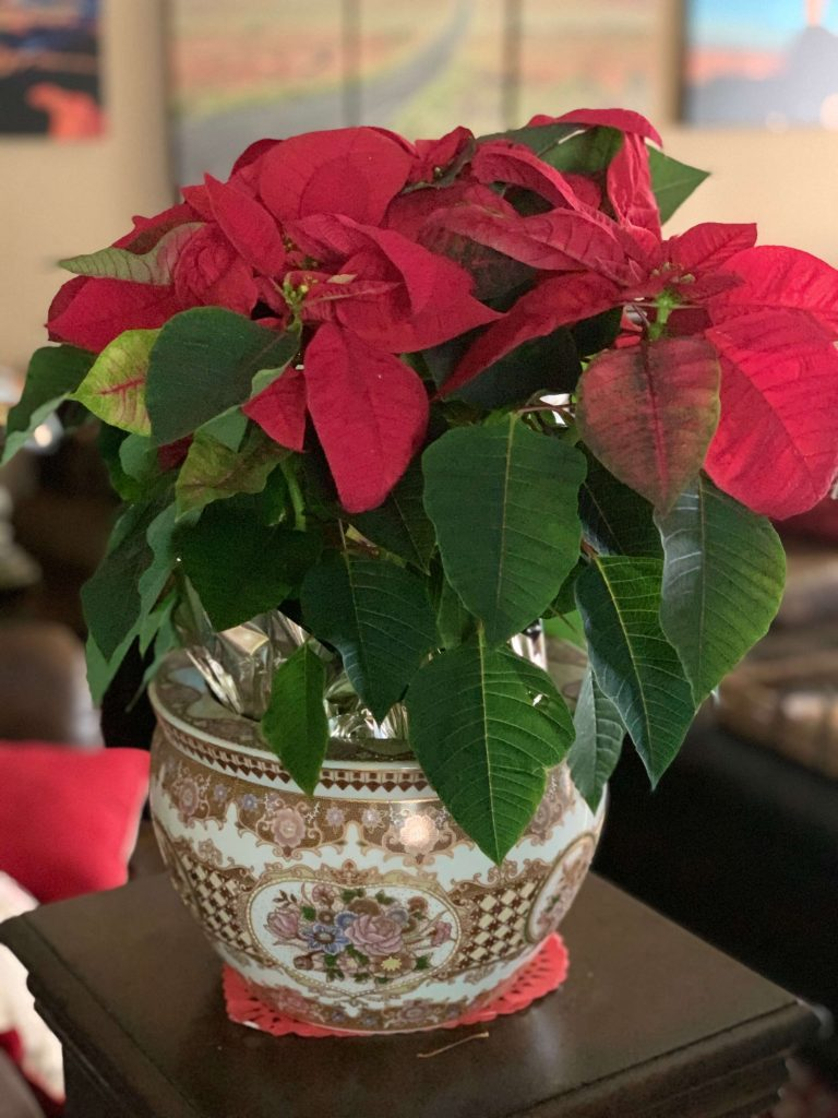 Poinsettia Christmas Plants